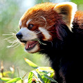 Mei Lin, a Red Panda