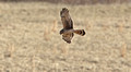 Harrier hunting at Middle Creek WMA
