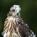 Very young Cooper's Hawk