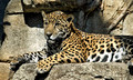 Lucha, a young jaguar