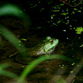 Bull Frog in small pond