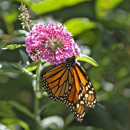 Monarch Butterfly, Ft. Washington, PA