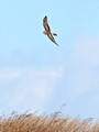 Northern Harrier hunting - Croton Point Park, NY